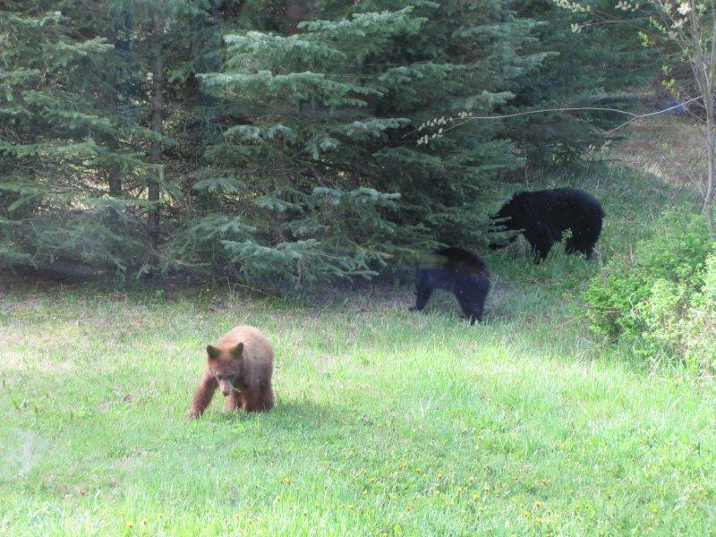 Bear and cubs seen on Old Goat trail in Mt Fernie Provincial Park