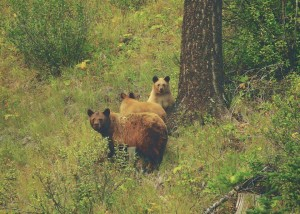 elkford brown bears