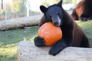 bears and pumpkins