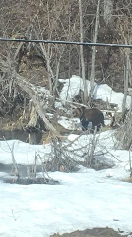 fairy creek grizzly