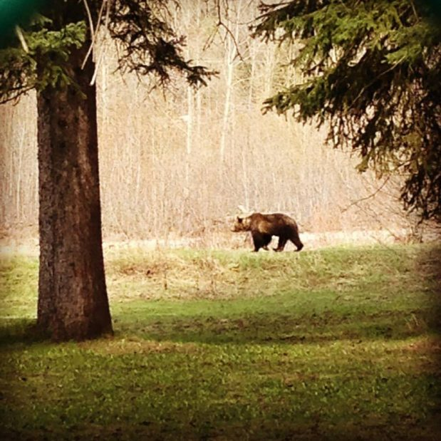 Female grizzly shot in defence of property