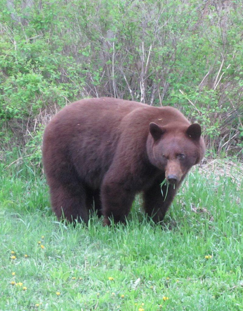 brown balck bear