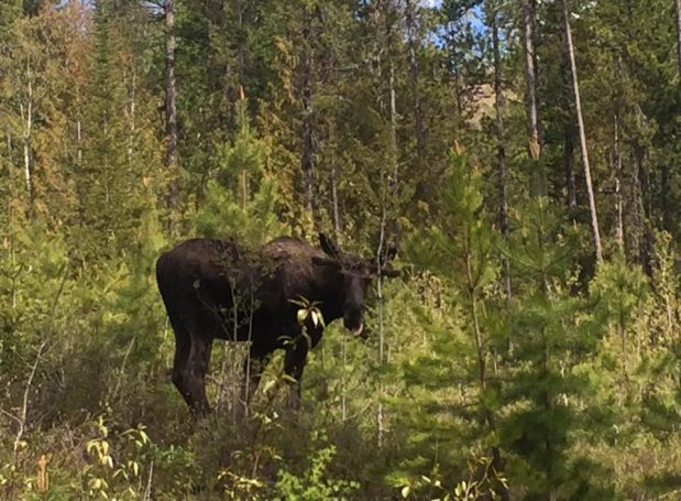 Moose charged a biker by Maiden Lake in Fernie