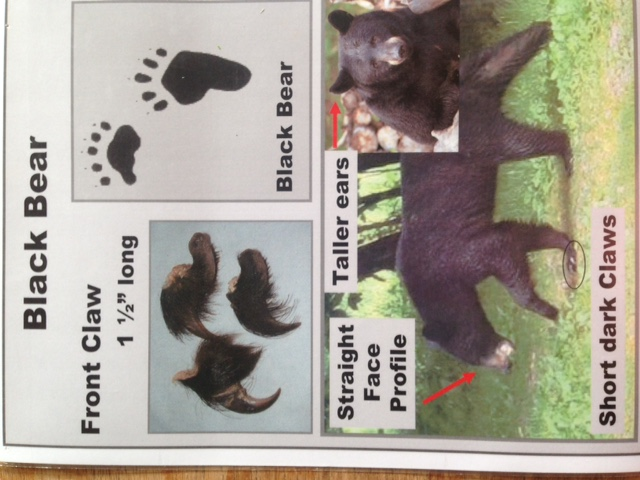 black bear traits